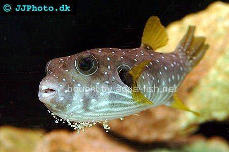 White-Spotted Puffer, picture no. 4