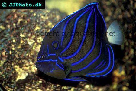 Bluering Angelfish picture 1