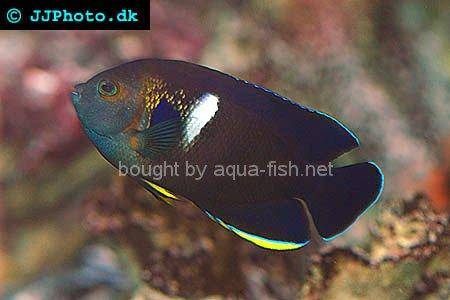 Keyhole Angelfish picture 1