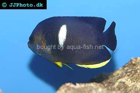 Keyhole Angelfish picture 2