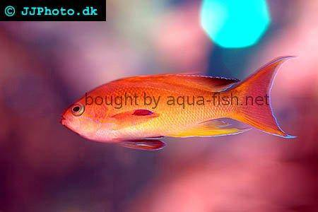 Sea Goldie - A saltwater aquarium fish