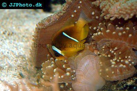 Twoband Anemonefish pictures