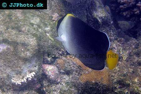 Vermiculated Angelfish, picture no. 2