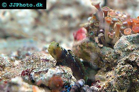 Y-Bay Shrimp Goby picture