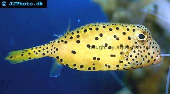Yellow Boxfish picture