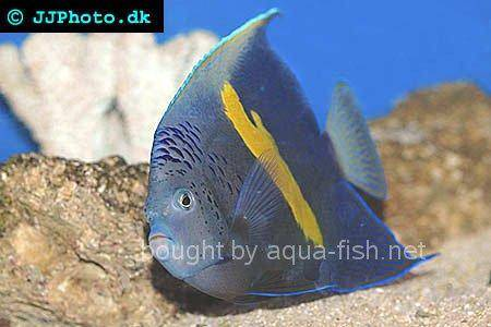 Yellowbar Angelfish picture