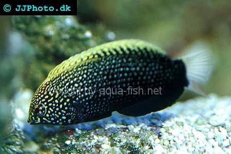 Yellowspotted Wrasse picture