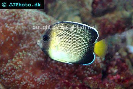 Yellowtail Angelfish picture