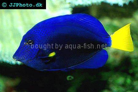 Yellowtail Tang picture no. 1