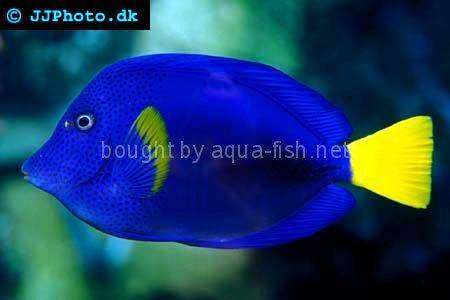 Yellowtail Tang picture no. 2