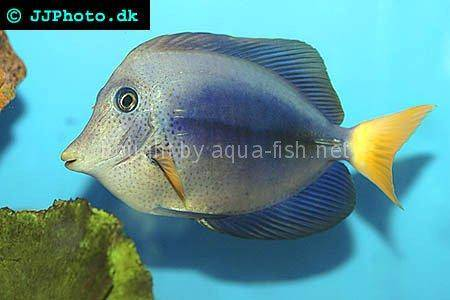 Yellowtail Tang picture no. 3