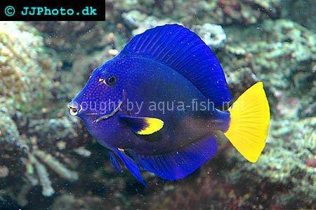 Yellowtail Tang picture no. 4