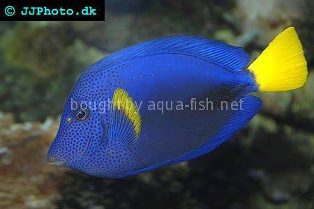 Yellowtail Tang picture no. 5