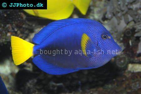 Yellowtail Tang picture no. 6