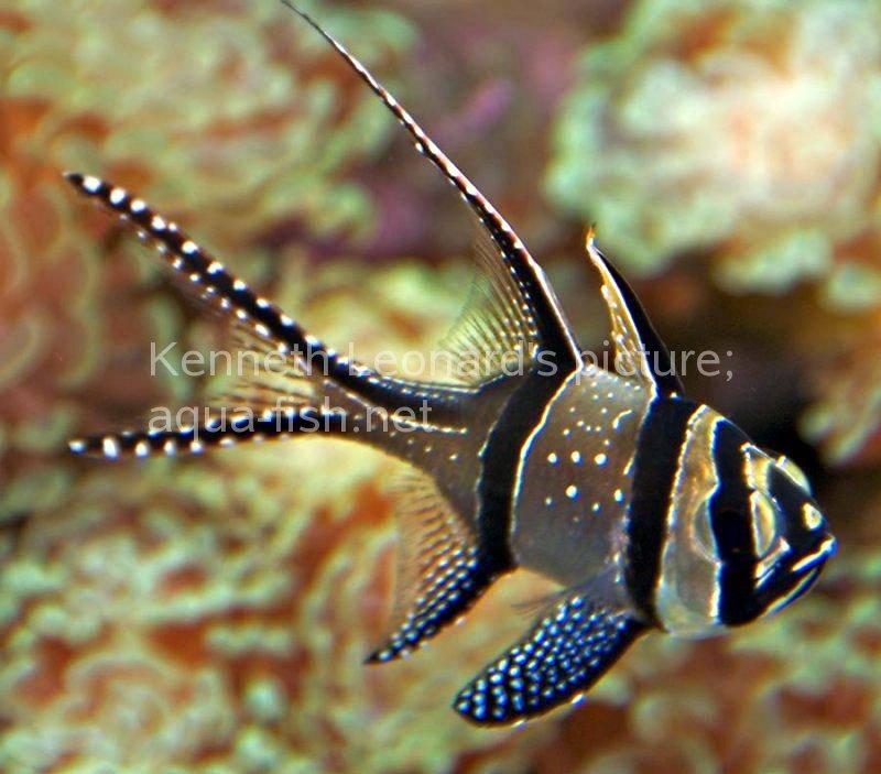 banggai cardinalfish - photo #31