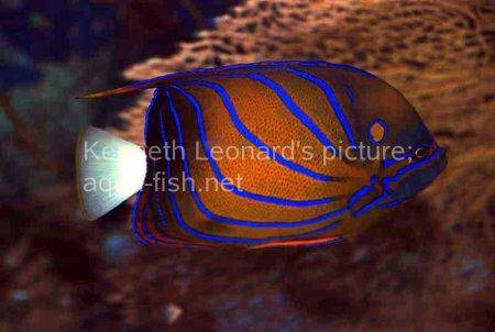 Bluering Angelfish, picture 5