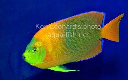 Clarion Angelfish, picture 1
