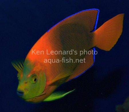 Clarion Angelfish, picture 10