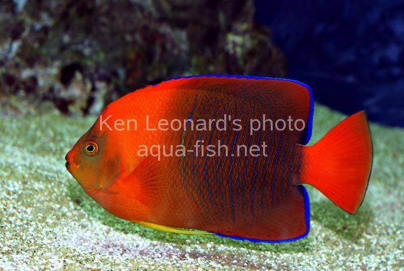Clarion angelfish for Red saltwater fish