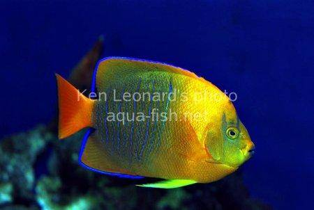 Clarion Angelfish, picture 6