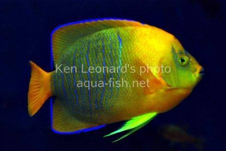 Clarion Angelfish, picture 7