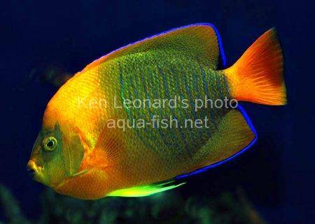 Clarion Angelfish, picture 8
