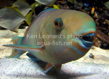 Common Parrotfish picture 5