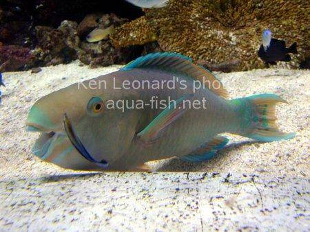 Common Parrotfish picture 6