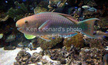 Common Parrotfish picture 7
