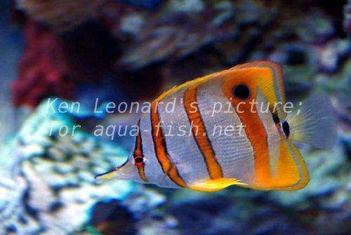 Copperhand Butterfly, picture no. 13