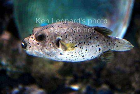 Dogface Puffer, picture no. 3