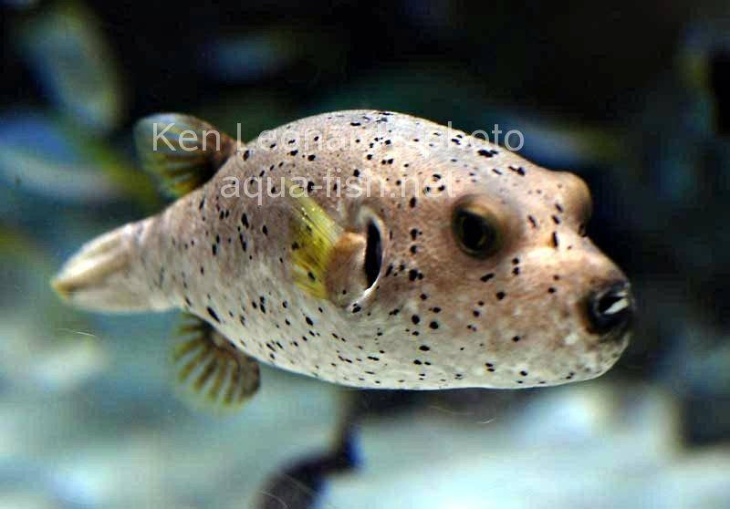 Dogface puffer for Dog face puffer fish