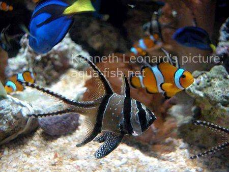 False Clown Anemonefish, picture no. 10