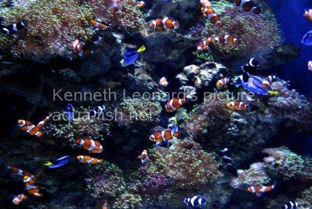 False Clown Anemonefish, picture no. 11