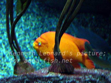 Garibaldi Damselfish, picture 3