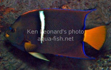 King Angelfish picture 3