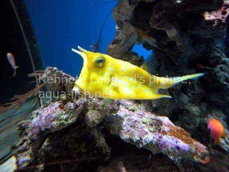 Longhorn Cowfish picture no. 5
