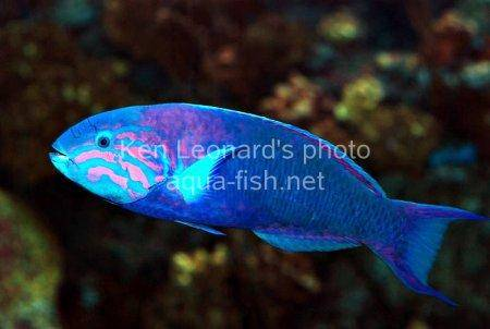 Moon Wrasse, picture no. 4
