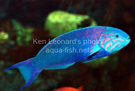 Moon Wrasse, picture no. 5