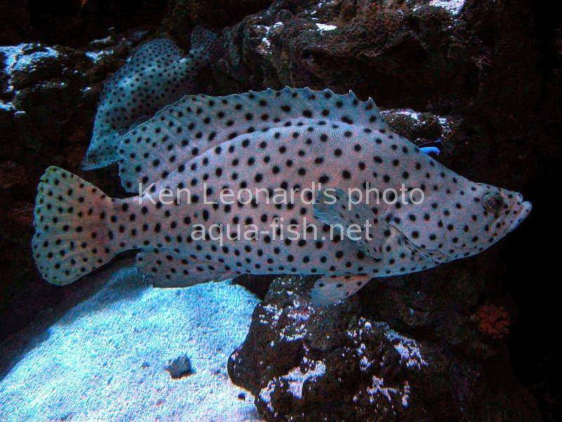 Panther Grouper