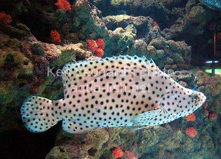 Panther Grouper picture no. 7