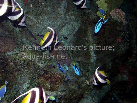 Pennant Coralfish, picture no. 5