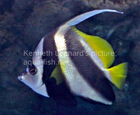 Pennant Coralfish, picture no. 6