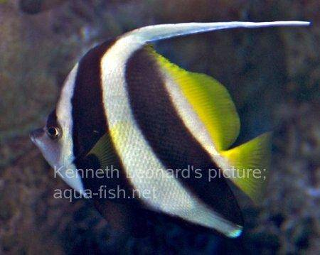 Pennant Coralfish, picture no. 7