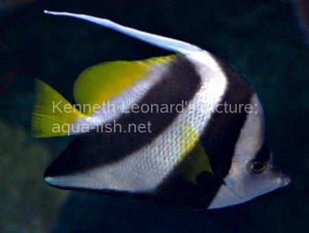 Pennant Coralfish, picture no. 8