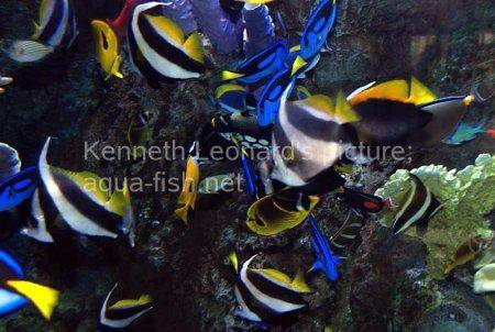 Pennant Coralfish, picture no. 9
