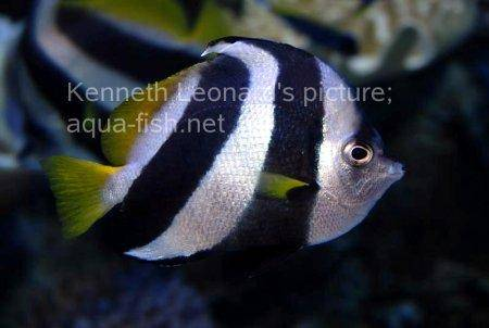 Pennant Coralfish, picture no. 10