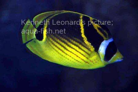 Raccoon Butterflyfish, picture no. 3