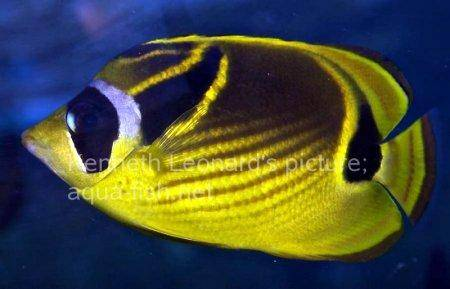 Raccoon Butterflyfish, picture no. 4
