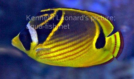 Raccoon Butterflyfish, picture no. 5
